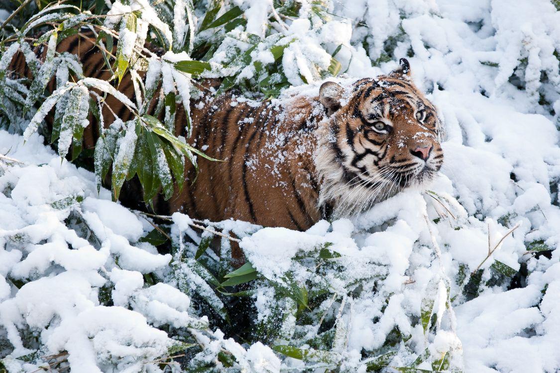 Тигр застрял в ветках и сугробе · бесплатное фото