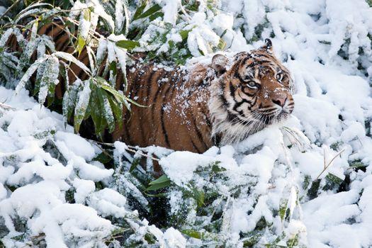 Тигр застрял в ветках и сугробе