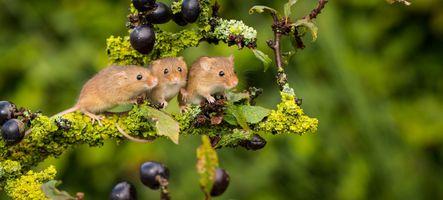 Фото бесплатно мышь, ягоды, ветка