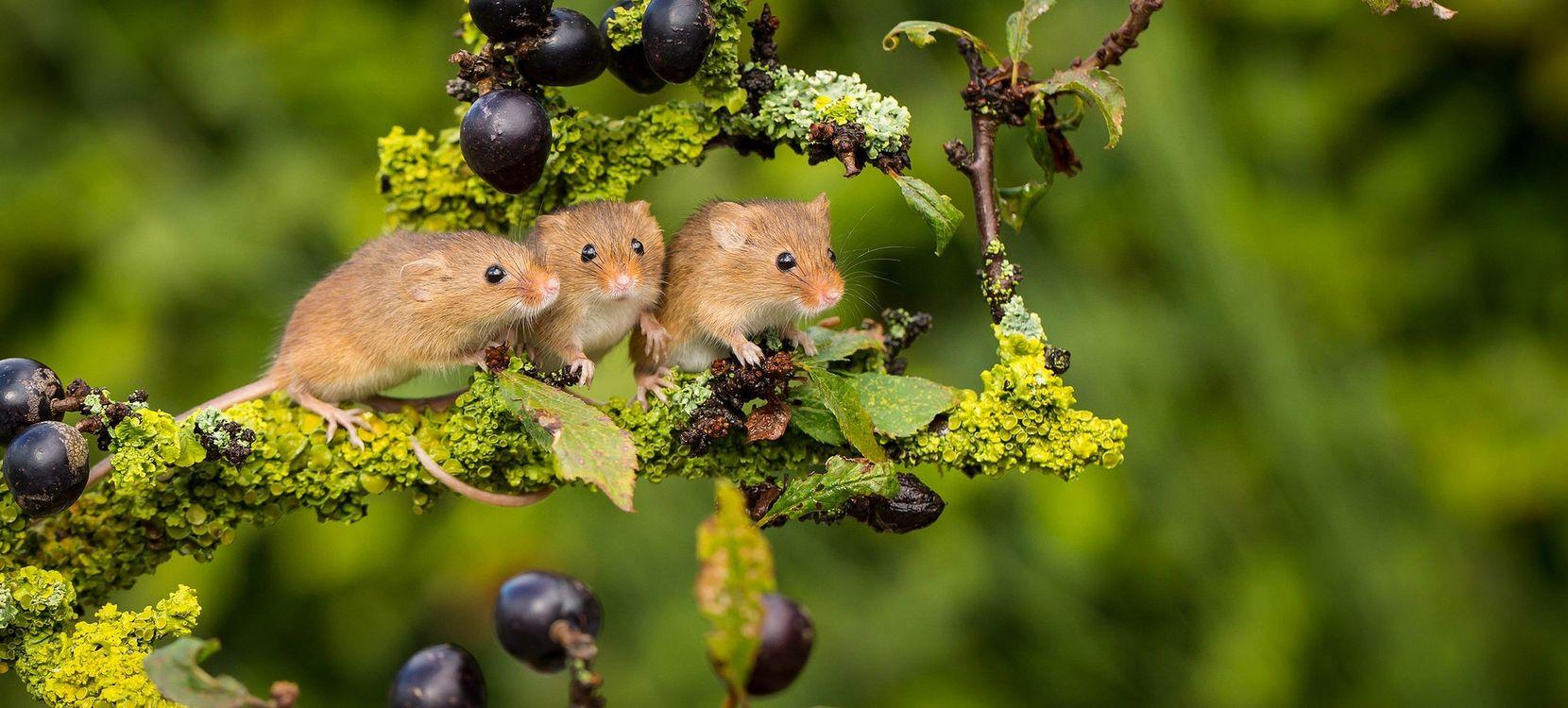 Фото бесплатно мышь, ягоды, ветка - на рабочий стол