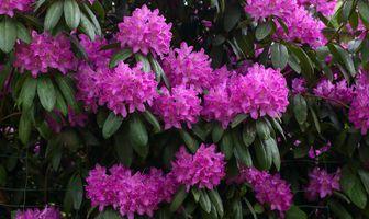 Бесплатные фото Rhododendron,Рододендрон,розовое дерево,кустарник,ветки,цветы,флора