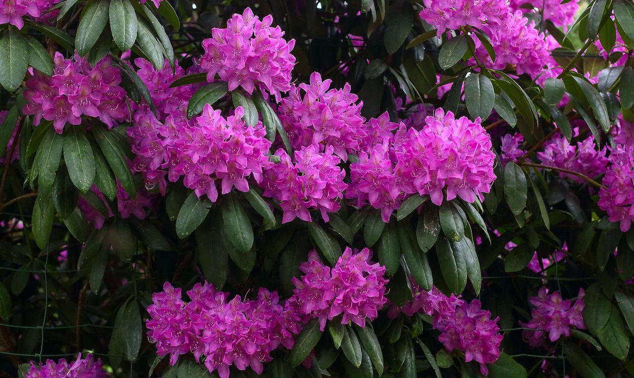 Фото бесплатно Rhododendron, Рододендрон, розовое дерево, кустарник, ветки, цветы, флора, цветы - скачать на рабочий стол