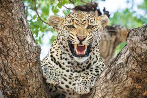 Грозный оскал пятнистого леопарда на дереве