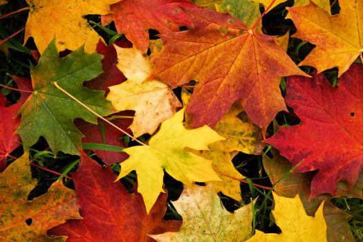 Кленовые листья осенью