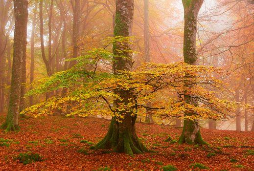 Заставки осень,листопад,старые деревья,земля в листьях,парк,деревья,осенние листья,осенние краски,краски осени,природа,туман,пейзаж