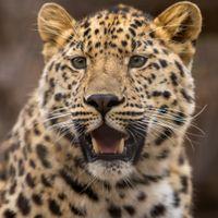 Большой леопард