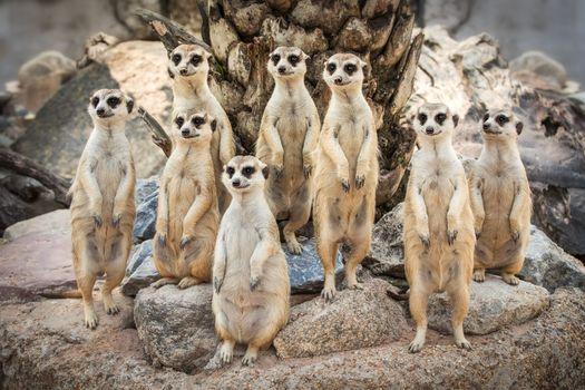 Бесплатные фото meerkats,family,сурикаты,семейство,камни