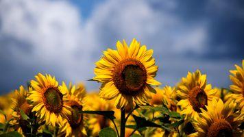 Яркие подсолнухи на фоне неба · бесплатное фото