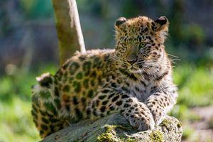 Заставки лицо, молодой леопард, хищник