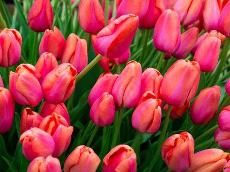Поле из красных тюльпанов · бесплатное фото