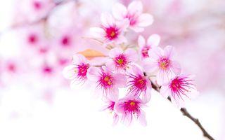 Розовая веточка вишни