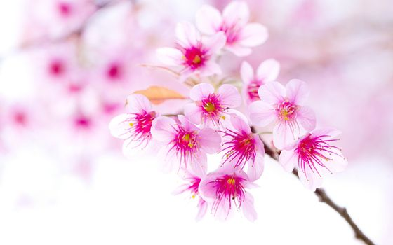 Pink sprig of cherry · free photo