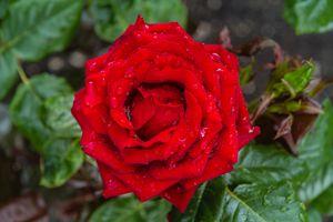 Красные пионовидные розы · бесплатное фото