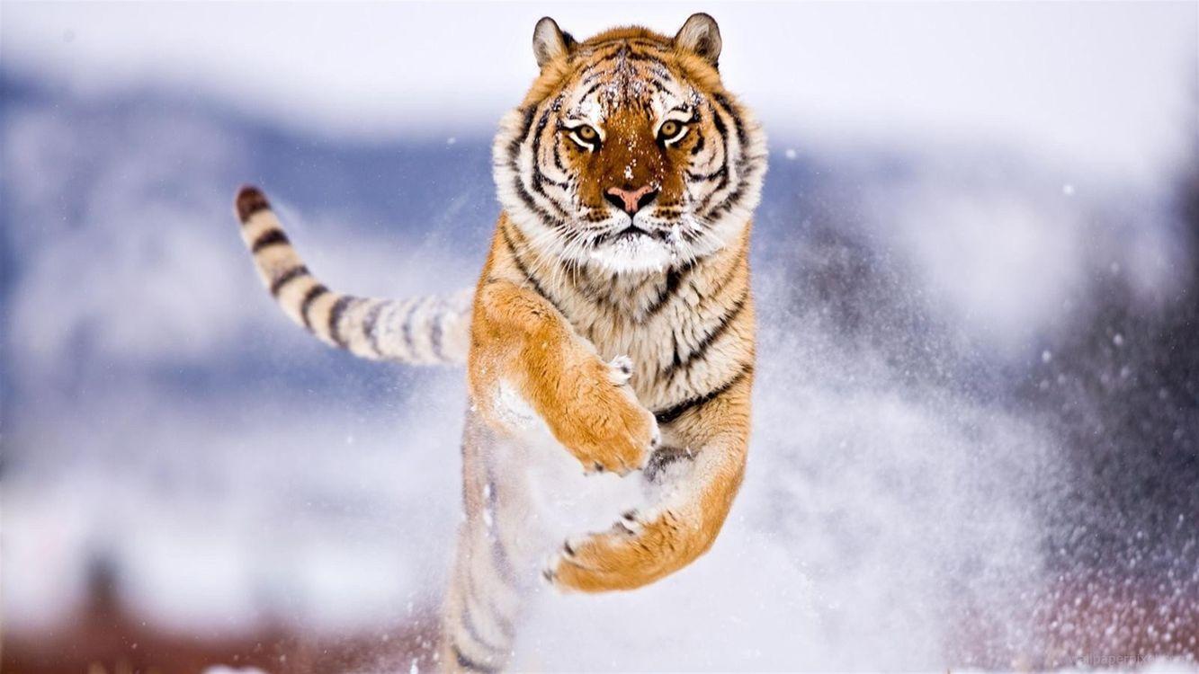 Обои тигр в прыжке, хищник, тигр, зима, снег картинки на телефон