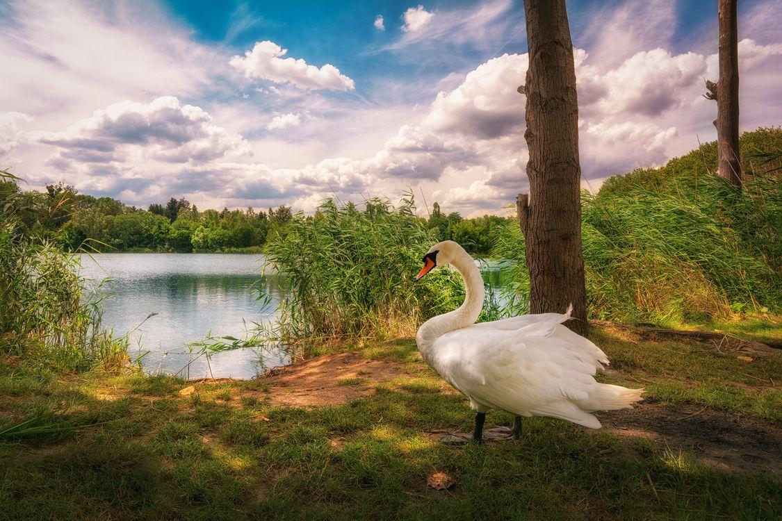 Фото бесплатно озеро, лебедь, птица, деревья, небо, облака, природа - на рабочий стол