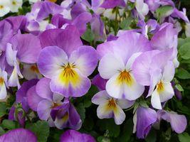 Фото бесплатно анютины глазки, садовые анютины глазки, цветы
