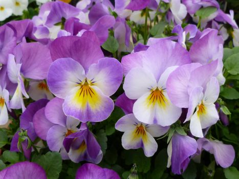 Photo free pansies, garden pansy, flowers