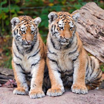 Два тигренка · бесплатное фото
