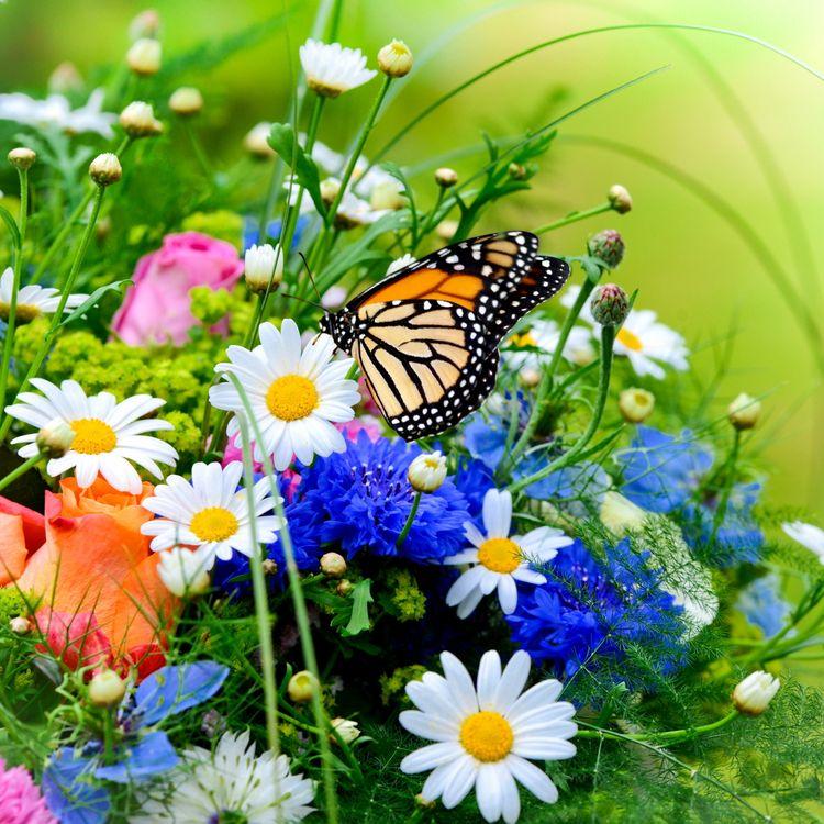 Обои бабочка, букет, цветы, ромашки, макро, васильки, флора на телефон | картинки цветы