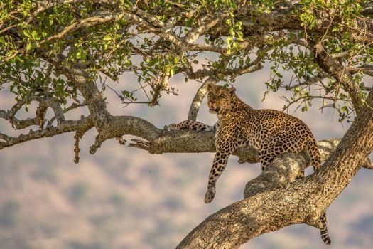 Заставки дерево, природа, леопард