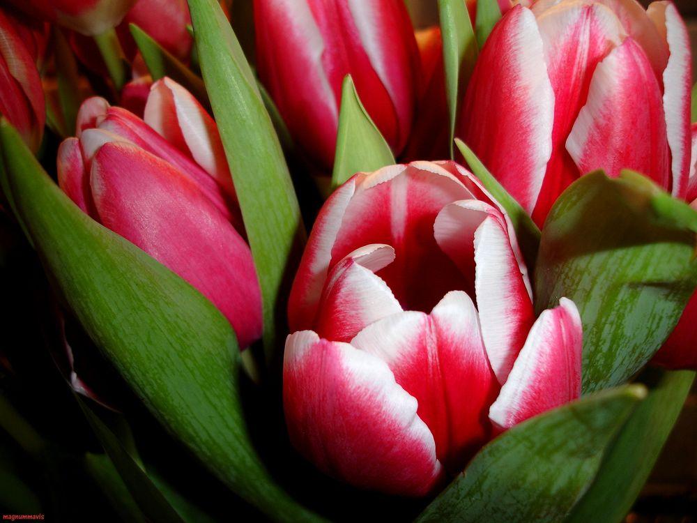Фото бесплатно тюльпаны, лепестки, красные, белые, цветы, флора - на рабочий стол