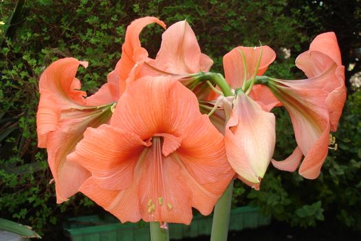 Photo free Amaryllis, spring, flower