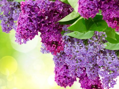 Photos online for free lilac, flowers
