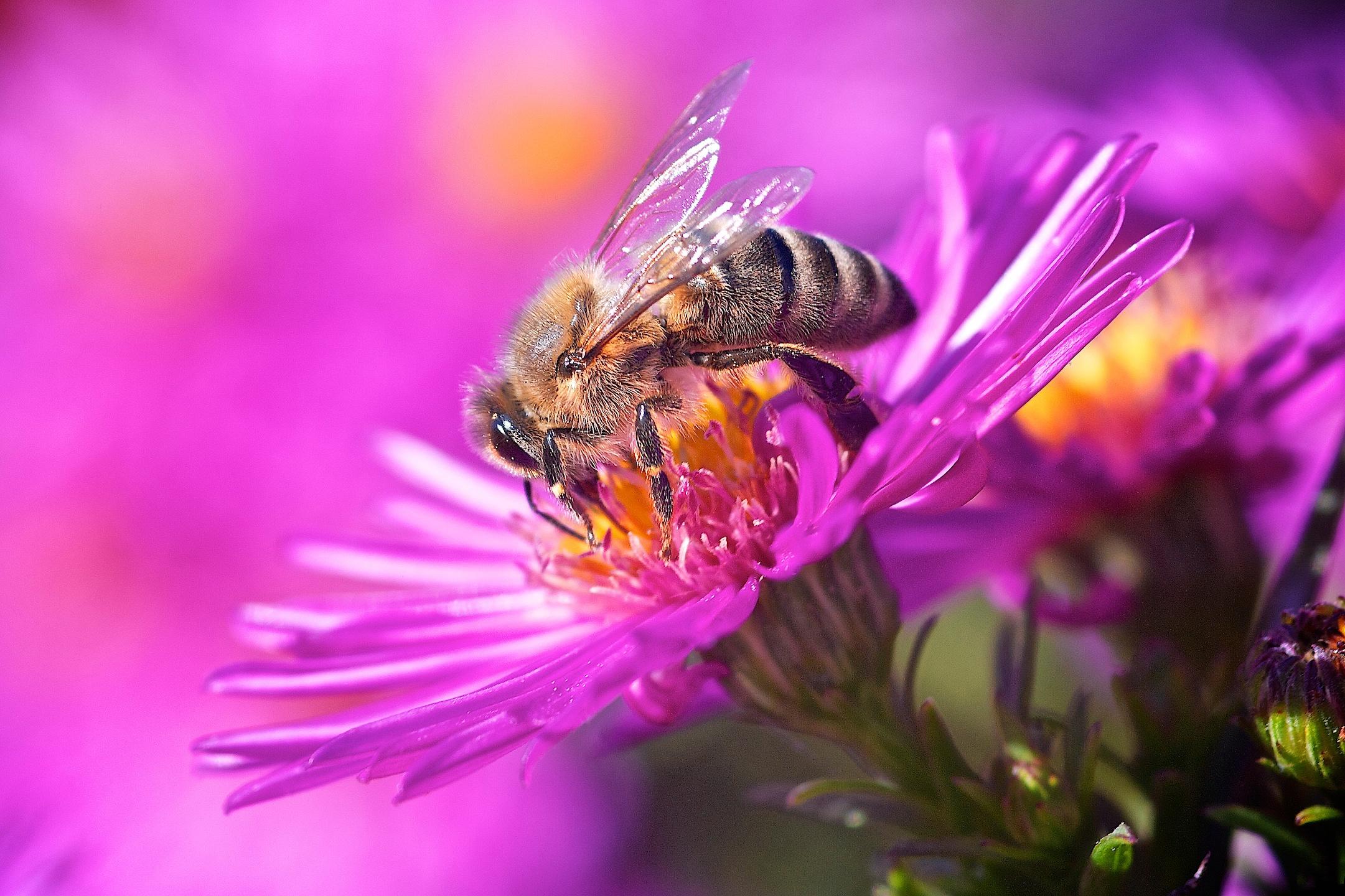пчела на цветке фотография тому же, настоящие
