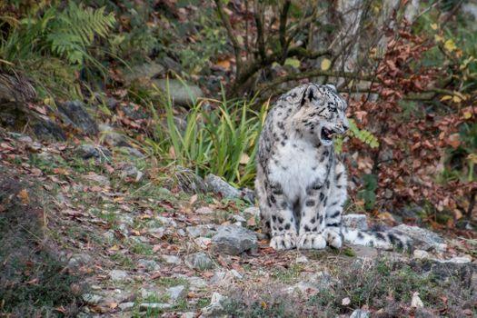 Фото бесплатно Белый Барс, сидит хищник, большие кошки