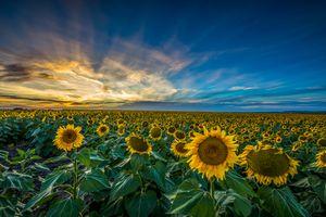 Фото бесплатно закат солнца, подсолнухи, облака