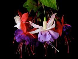 Фото бесплатно растение, Комнатный цветок фуксия, грациозная