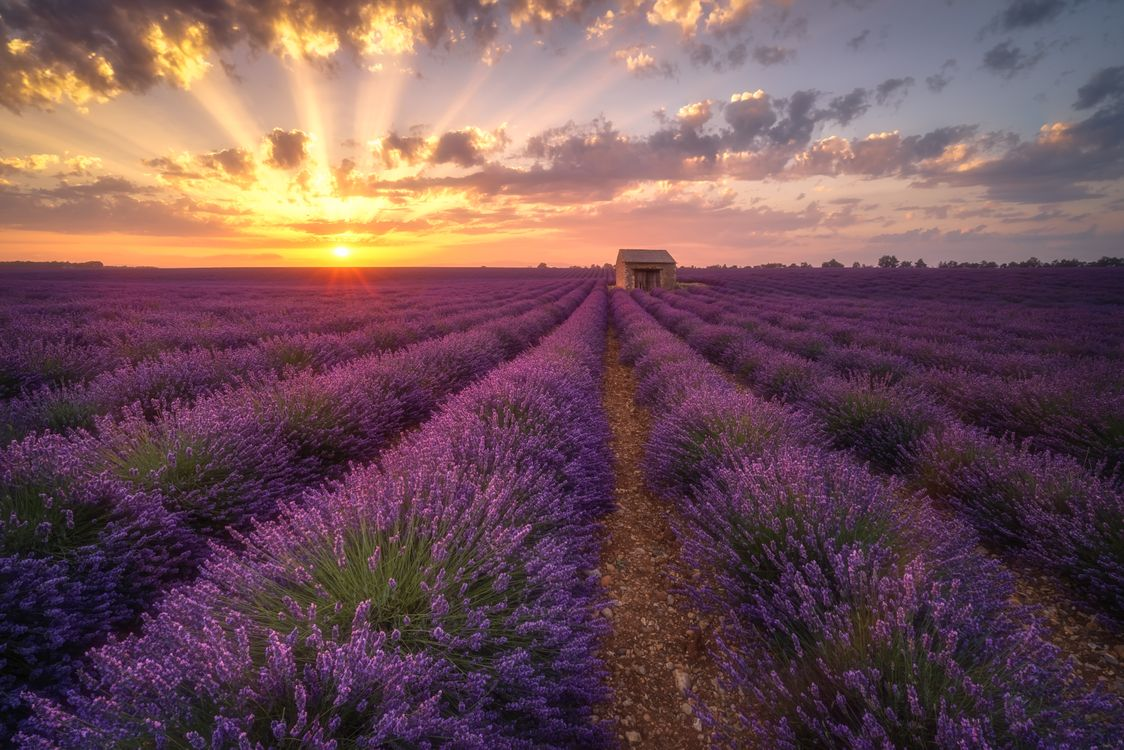 Обои лавандовое поле, закат солнца, поле картинки на телефон