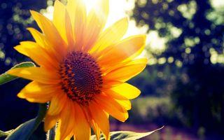 Фото бесплатно подсолнух, солнце, лучи
