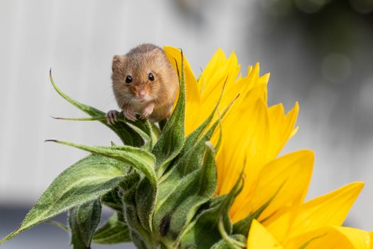 Photo free mouse-baby, sunflower, Harvest Mouse