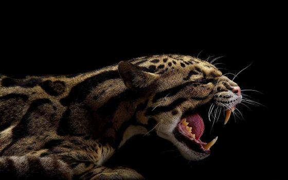 Фото бесплатно леопард, дымчатый, черный