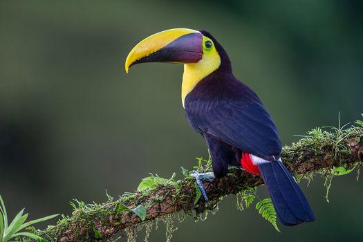 Фото бесплатно Yellow-throated toucan, Желтогорлый тукан, Ramphastidae