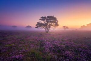 Бесплатные фото закат,поле,лаванда,цветы,дерево,туман,природа