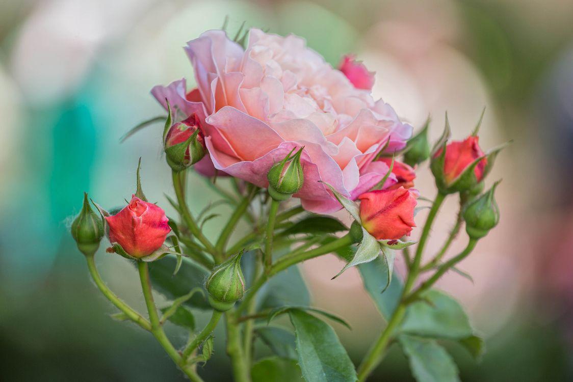 Фото бесплатно роза, розы, цветущая ветка, цветы, флора, цветы