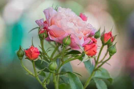 Бутон цветущей розы · бесплатное фото