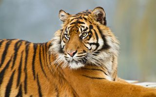 Усатый тигр, милашка