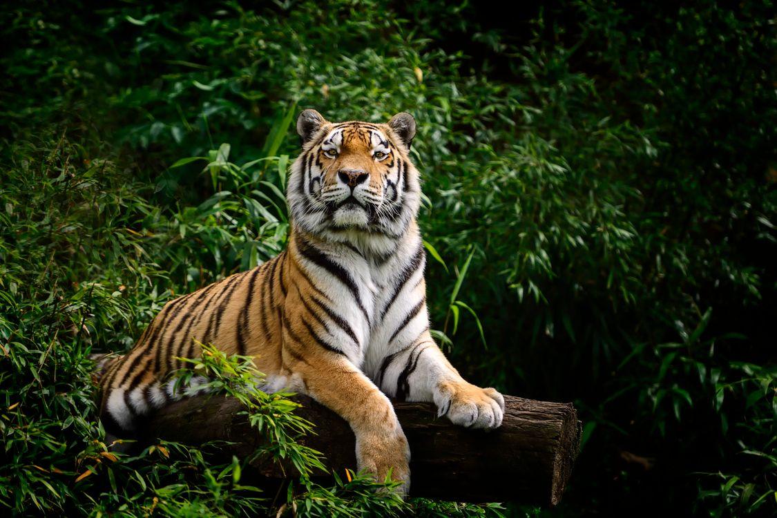 Фото бесплатно тигр, увидел фотографа, на поваленном дереве, лес, парк, хищник, животное, животные