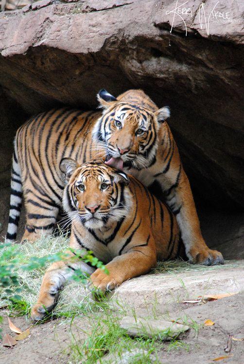 Тигр лижет голову подруге · бесплатное фото