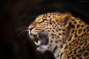 Обои портрет леопарда, леопард на рабочий стол высокого качества