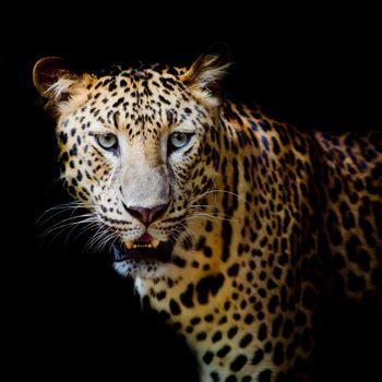 Photo free Leopard portrait, leopard, predator