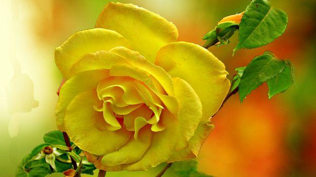 Заставки роза, цветок, флора