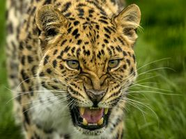 Russian leopard · free photo