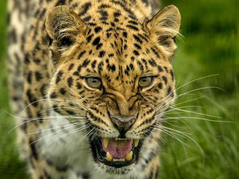 Russian leopard - free photo