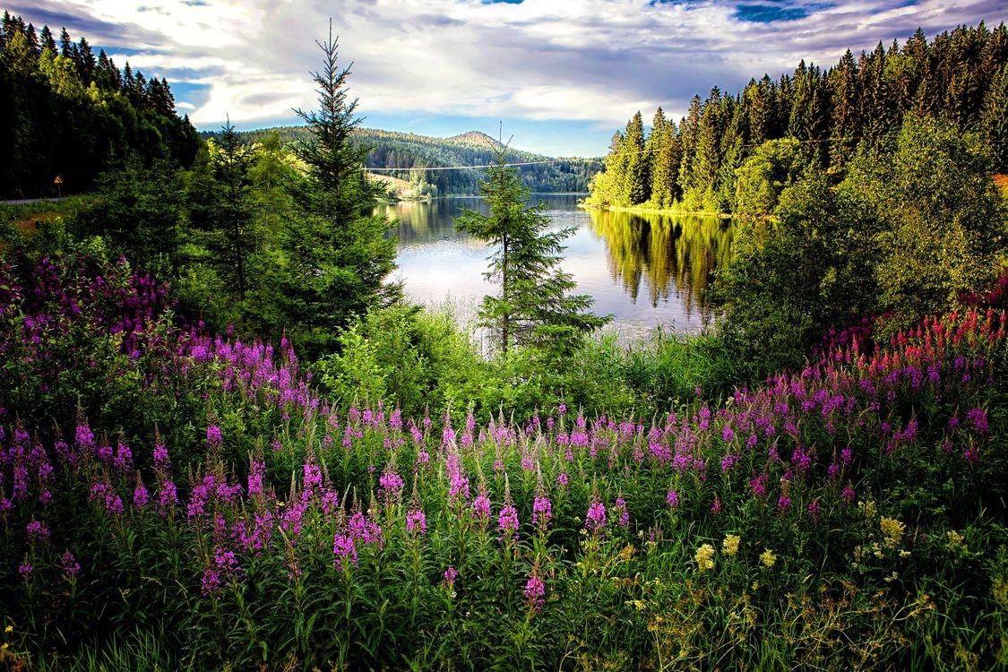 Фото бесплатно Kramfors, Sweden, озеро, лес, деревья, цветы, иван чай, природа, пейзаж, пейзажи