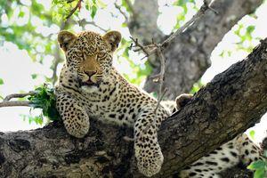 Заставки хищник, животное, на дереве