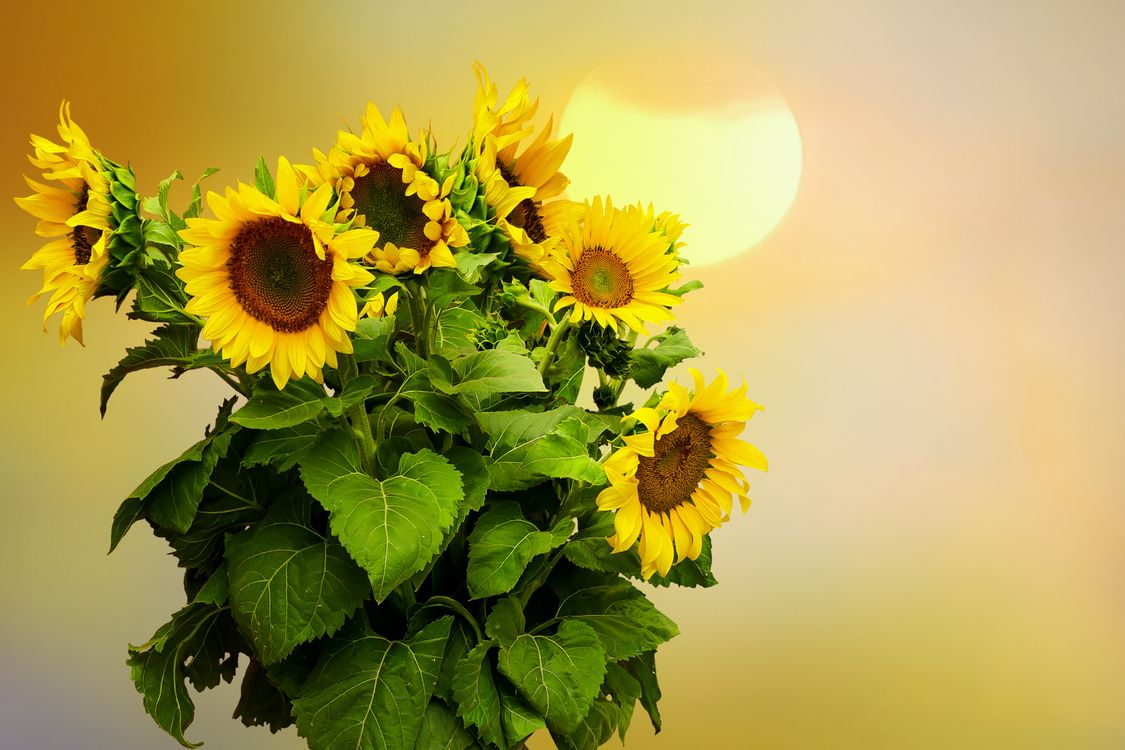 Фото бесплатно подсолнухи, цветы, букет, флора, цветы